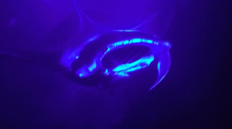 manta-ray-snorkle-kona-2